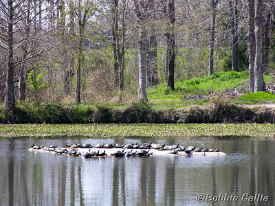"""©Bobbie Gallia; """"Sun Bathers Convention""""; A large gathering of turtles celebrate the welcome warmth of the early spring sun on a floating platform. The lake is located at the Vermilionville Cajun/Creole Heritage & Folklife Park, Lafayette, Louisiana."""