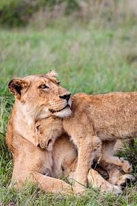 Avoca Pride female with her cub