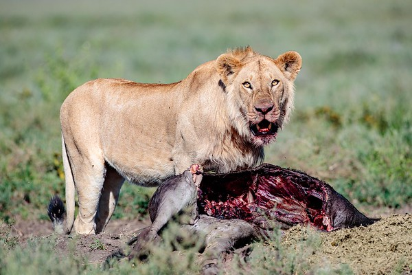 Serengeti Male with a Kill