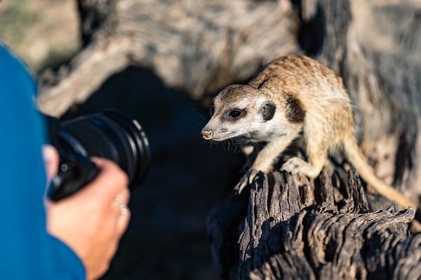 Kalahari Meerkat Photo Safari 2018