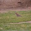 Bobcat in Estrella Mountain Park, Maricopa County, 3/7/18