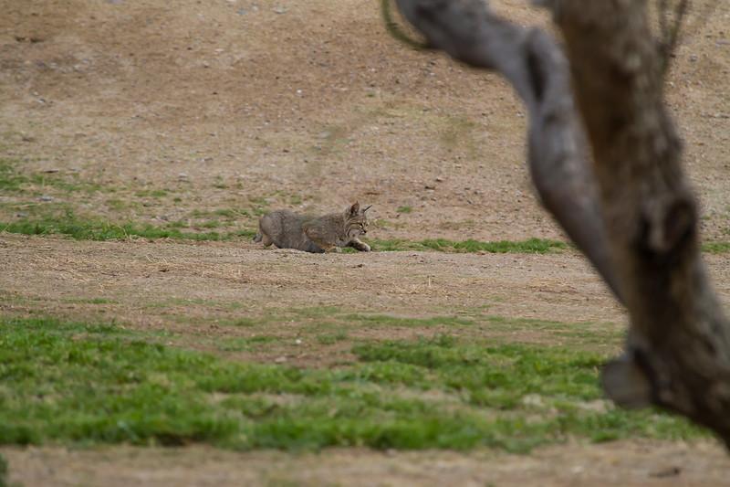 Bobcat in Estrella Mountain Park, Maricopa County, 3/7/18