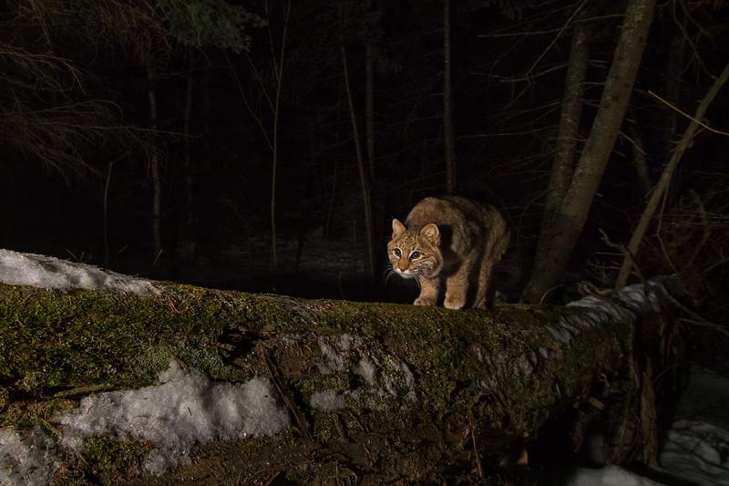 DECEMBER | Bobcat, Crystal Creek
