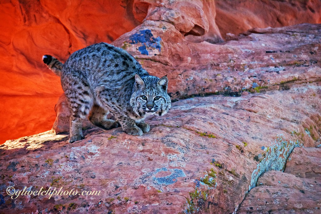 Bobcat in front of Red Rock Arch