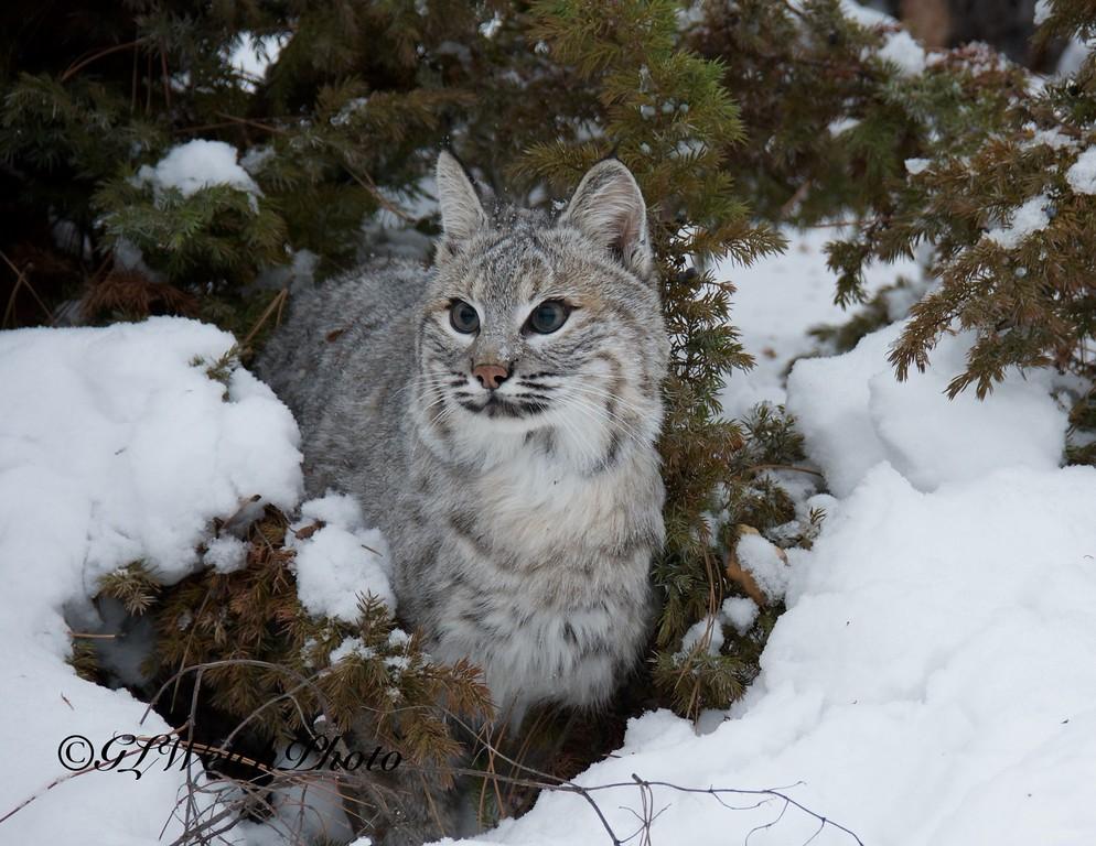 Bobcat in the brush
