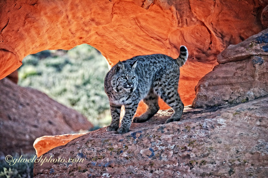 Bobcat on Red Rock