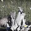 Baby Bobcat on driftwood- Cool tones