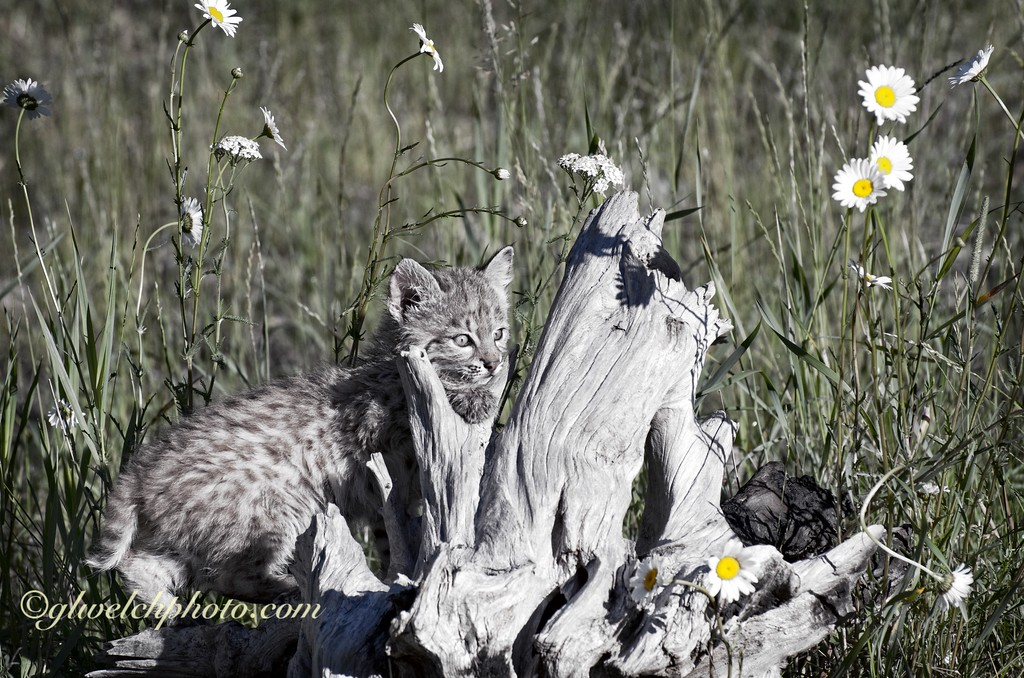 Baby Bobcat on driftwood- Cool tones