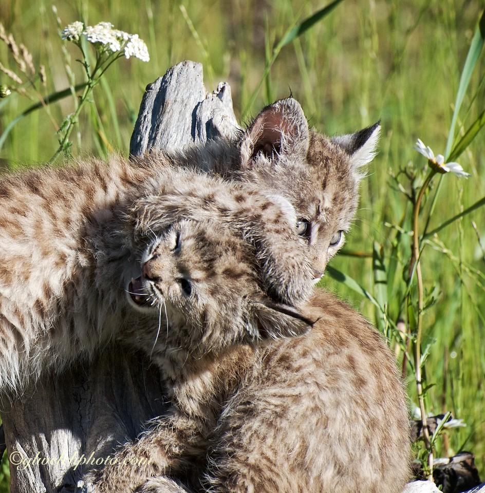 Baby Bobcats at Play