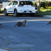 A Momma raccoon and her five babies walking across the street to go into the storm drain.