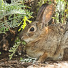 A wild Cottontail Rabbit eating vegetation