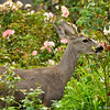 A young male Mule Deer raiding the rose garden! He was enjoying those young rose buds!