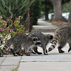 A Momma Raccoon and her four babies walking out of my driveway and on their way across the street to enter the storm drain!