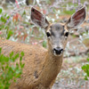 A female Mule Deer