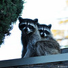 Here is the mommy raccoon, with one of her babies, on the roof of my garage.