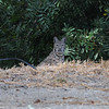This Bobcat was stalking a rabbit when it suddenly realized I was nearby. I was able to take a few pictures before it ran away. This bobcat was photographed in Malibu, CA.
