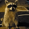 A female raccoon greeting me at my backdoor.