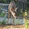 A Mule Deer fawn eating vegetation