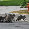 A Momma Raccoon and her four babies crossing the street to enter the storm drain!