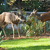A mother Mule Deer and her fawn eating the leaves of a rose bush