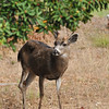 "This is a wild Black-tailed deer named ""John Wesley"". John Wesley was named by the staff of the First United Methodist Church of Pacific Grove after the Methodist Minister John Wesley (1703-1791). In the 18th century, John Wesley called upon people to rethink church and make the whole world their parish. It is in this spirit that the Church staff watches over John Wesley, who roams freely, since he has several birth deformities including a non-viable back leg. John Wesley is greeted by the staff when he comes to the church in the morning and is given fresh apples along with an endless dose of kindness and compassion."