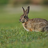 A wild Cottontail Rabbit eating grass