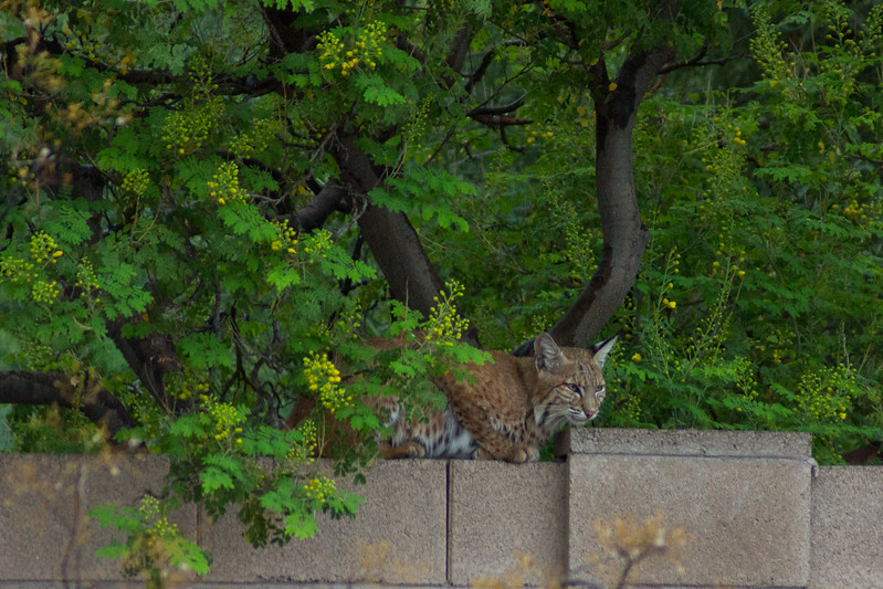 Mother Bobcat rests and looks for food