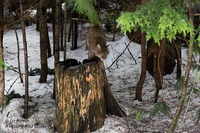Bobcats in Whistler