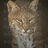 Gizmo, a male bobcat at Lions Tigers and Bears Photo Workshop in Alpine, California