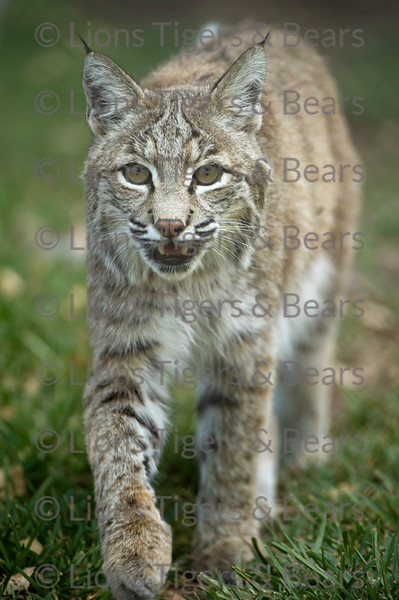 Bobcat at Lions Tigers and Bears Photo Workshop in Alpine, California