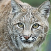 Mia, a female bobcat at Lions Tigers & Bears