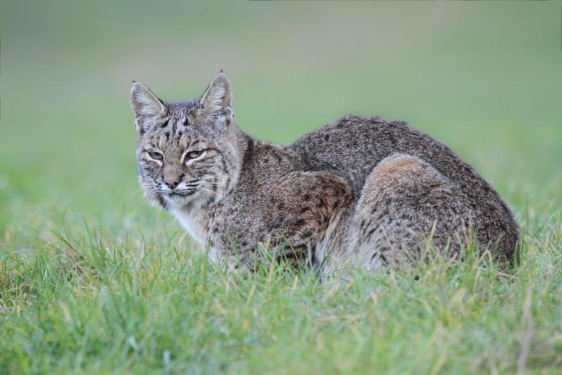 Bobcat (Lynx rufus californicus)