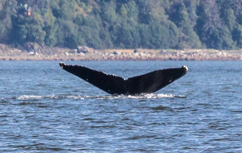 B-whales12-Juneau-5762