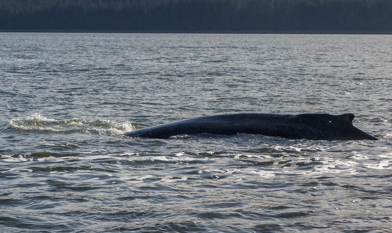 B-whales3-Juneau-5820
