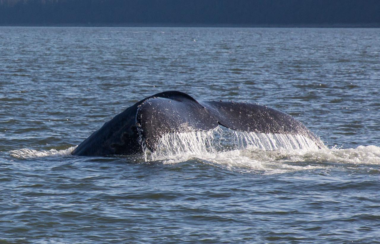 B-whales6-Juneau-5831
