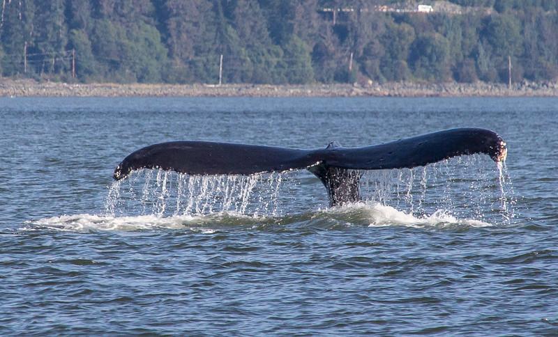 B-whales9-Juneau-5778