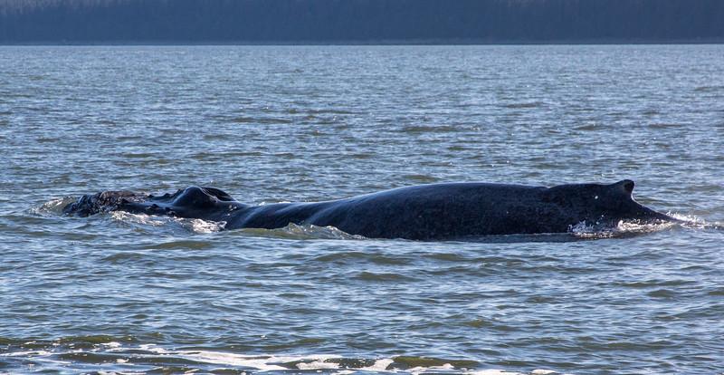 B-whales4-Juneau-5823