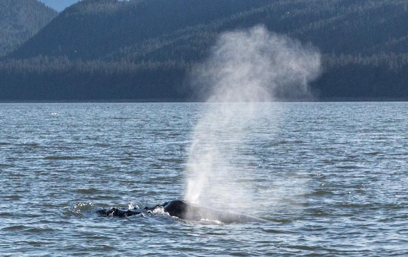 B-whales-2Juneau-5821
