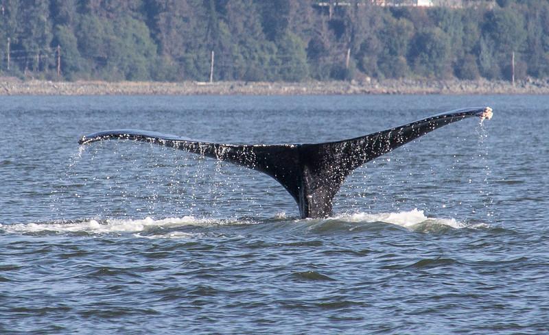 B-whales10-Juneau-5779