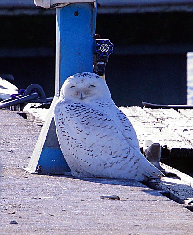 Snowy Owl Shots