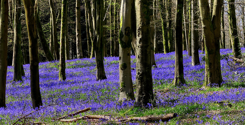 A carpet of Bluebells in Whatcombe Wood