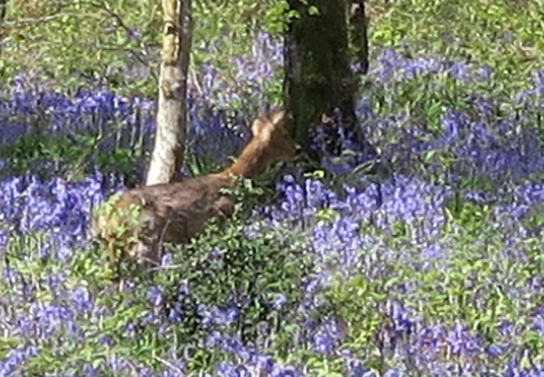 A startled deer takes flight - hastily taken and a bit blurred!
