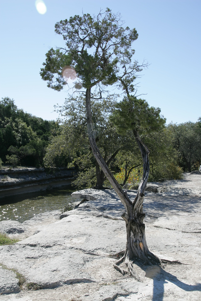 Tree Growing on Rock at Austin, TX