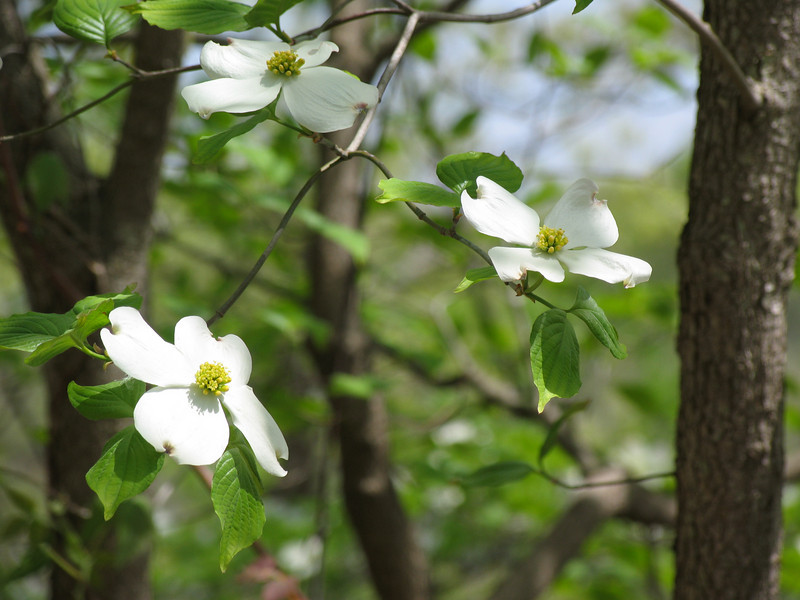 Dogwood Blossoms at Lake of the Ozarks, MO