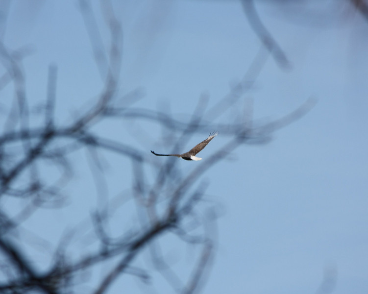 Eagle over Lake of the Ozarks, MO