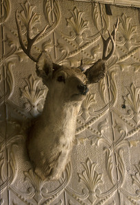 "Mounted deer head in the Wheaton and Hollis Hotel bar.  Notice the embossed tin ""wall paper"" lining the walls.   This was not only beautiful but it kept out the cold winter winds."