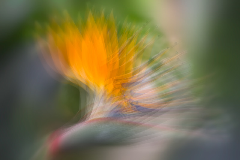 Bird of Paradise, Merit Category in Color Magazine 2012 Single Image Competition
