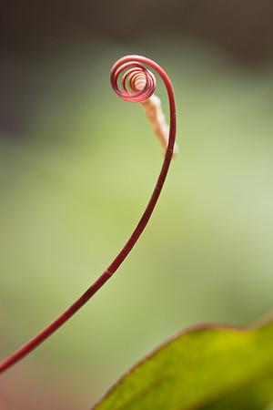 Passion Flower Vine #3
