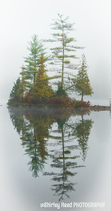 Pine Tree in Fog