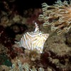 Radial filefish camouflaging on Xenia soft coral